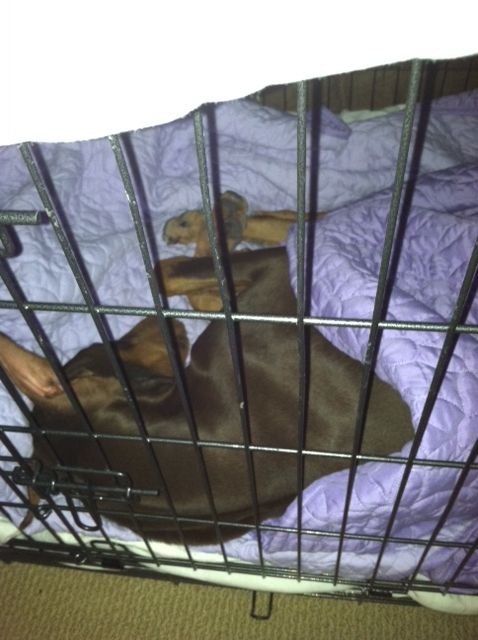 Does your Dobe sleep in a wire crate?-nala-sleeping-nov-2012.jpg