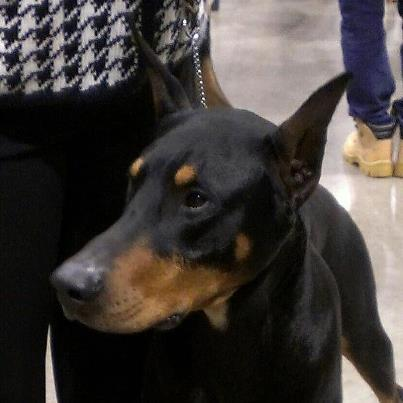Michigan Winter Dog Classic-nico-show.jpg