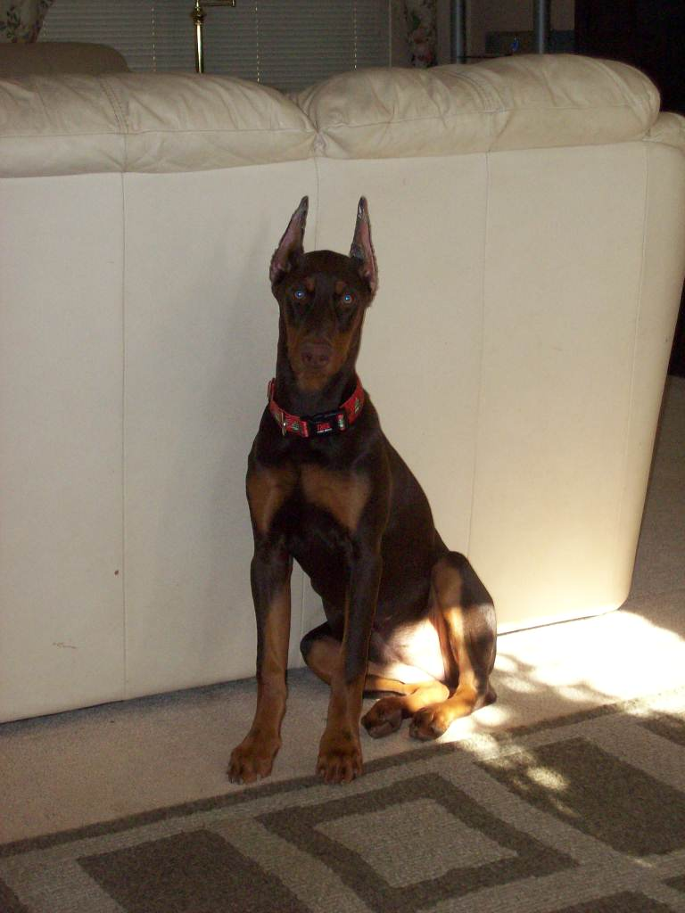 6 month old doberman weight