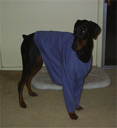 Doberman sweaters-pjsa.jpg