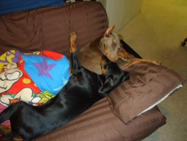Hello from Indiana with 2 dobies-puppy-love.jpg