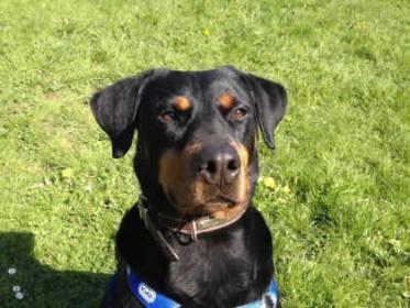 Adopting A Doberman X Rottweiler Rescue Doberman Forum