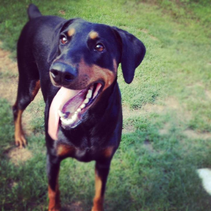 new here from UK floppy ear dobe-sadie4.jpg
