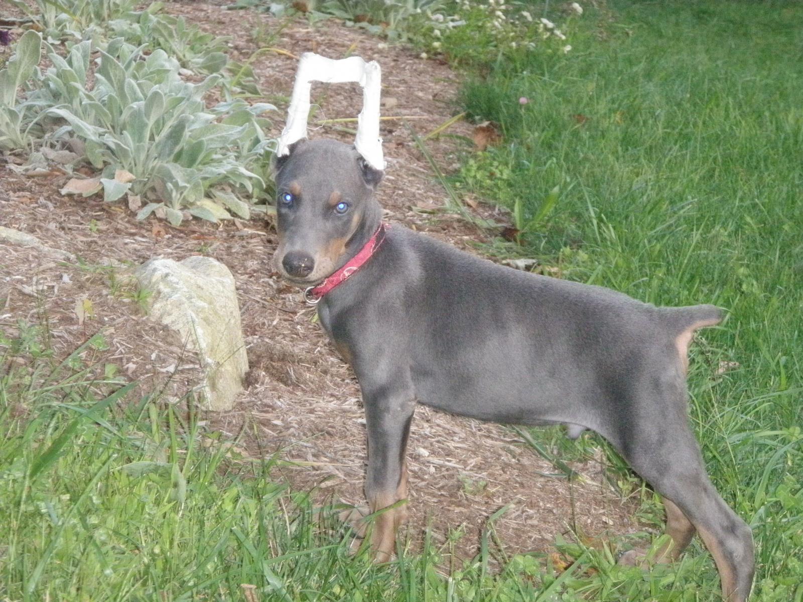 Blue doberman pinscher dogs