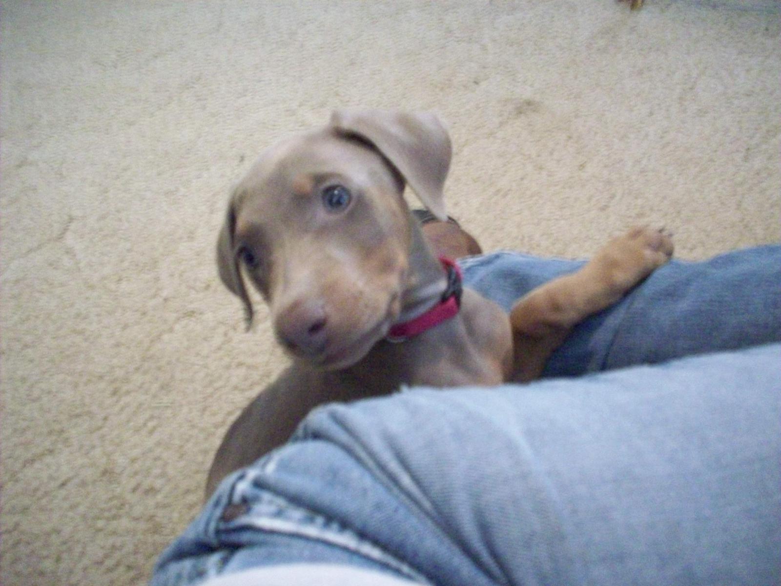 Hi new Dobie owner of 2 beautiful fawn pups-winter-2009-2010-036.jpg