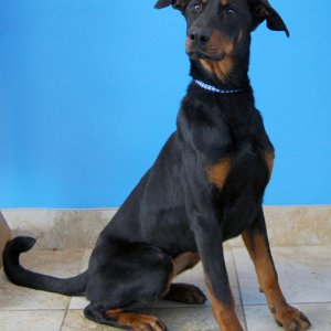 Pic Of My Dobie When She Was At Idr+