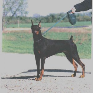 Windspirit Dobermans