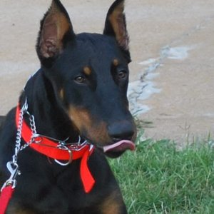 My First Doberman ,,,,