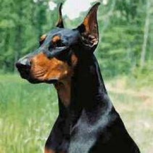 A Doberman Form Google