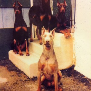 Our Four Dobes
