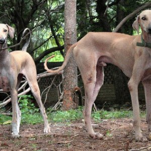 Chippiparai - Great Indian Dogs