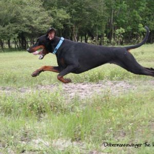 Our flying dobies :)))