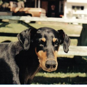 My First Doberman.........Sadie!