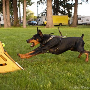 Havok Flyball
