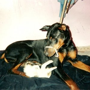 Margies' Dobermans