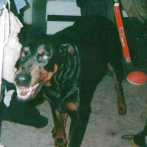 Smiling Doberman