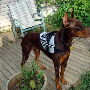 Service Dobe In Training
