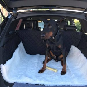 Doberman Guard Dogs For Sale | Protection Dogs Worldwide
