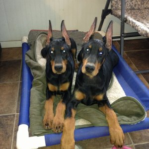 Kelview Dobermans
