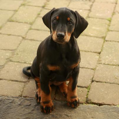 Aspen Puppy