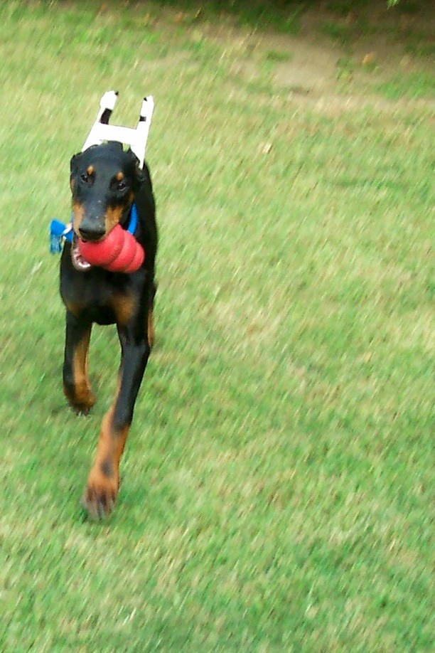 Buddy Patches Mom's 1st Dobe