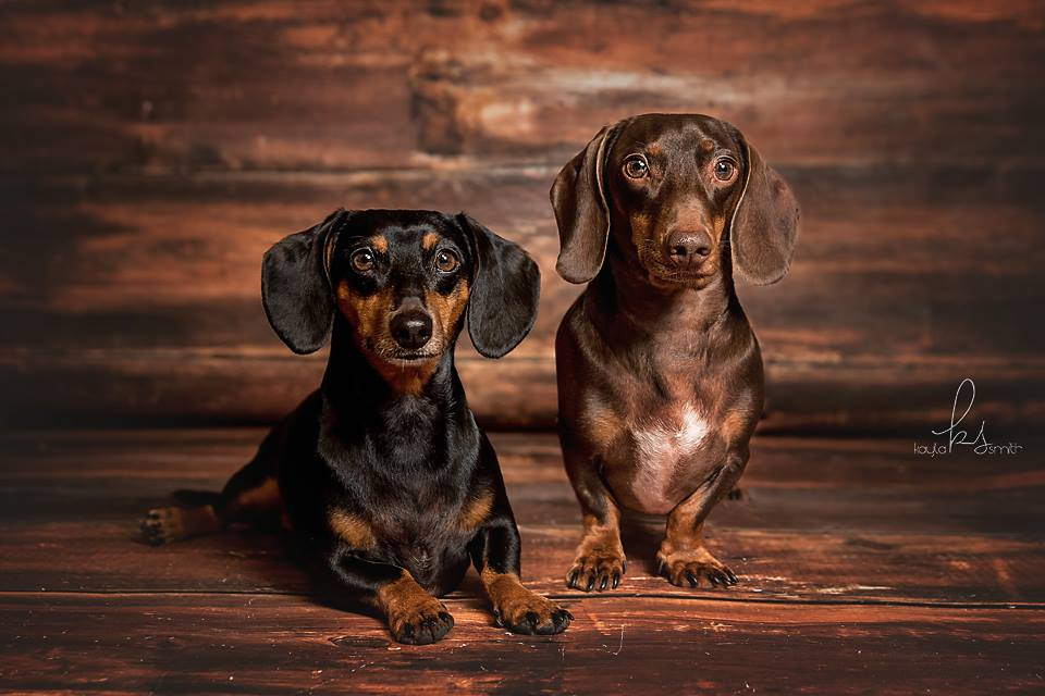 Dachshunds Looking For A Dobe