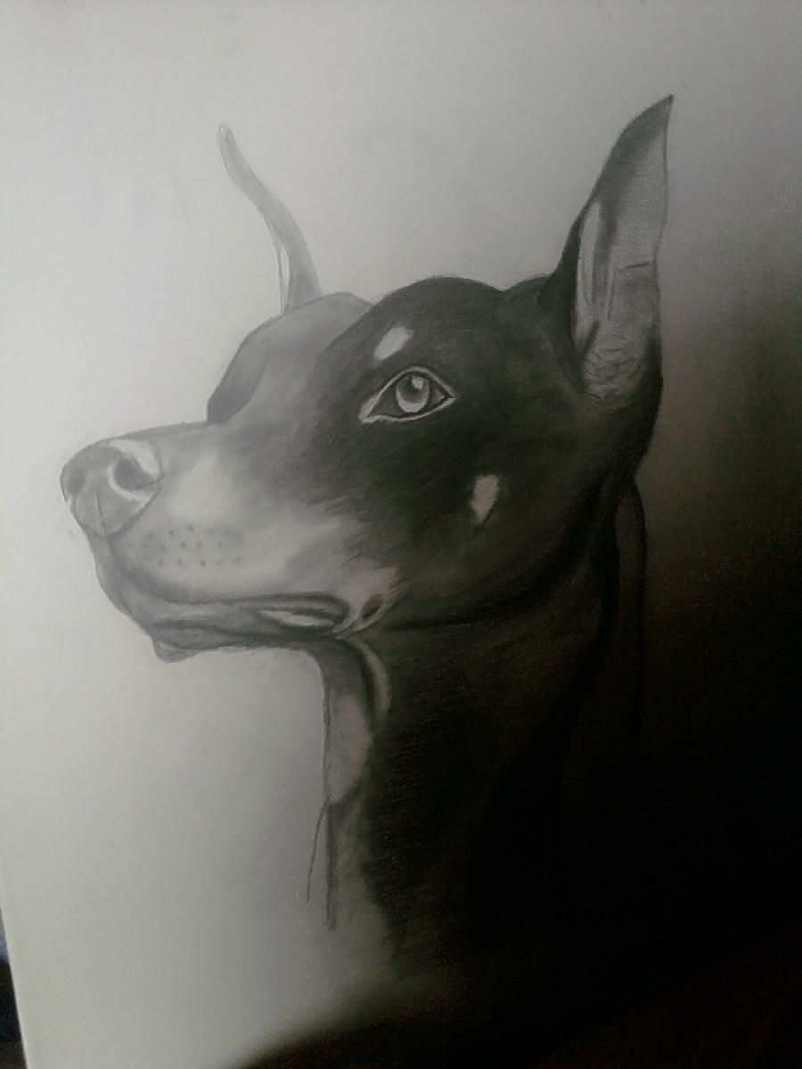 Doberman Sketch On Canvas