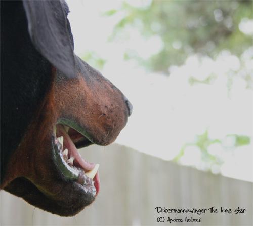 Faszination Dobermann