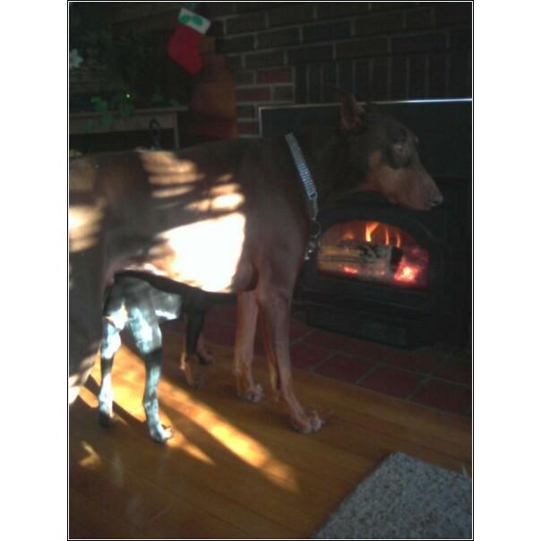 Fireplace Lovin' Dobies