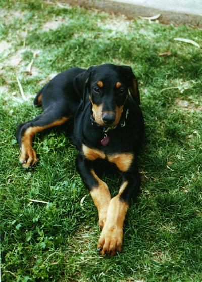 Isabelle Puppy