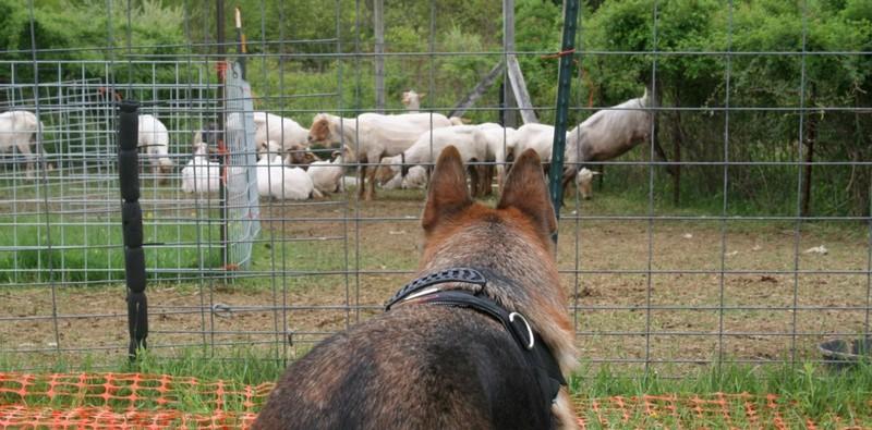 Love At First Sheep