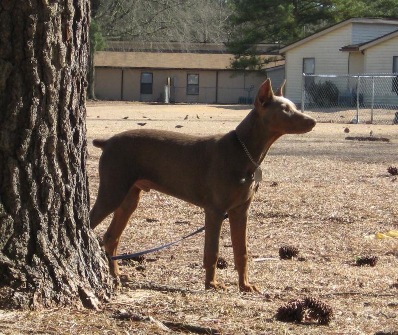 Of max our fawn doberman forum doberman breed dog forums
