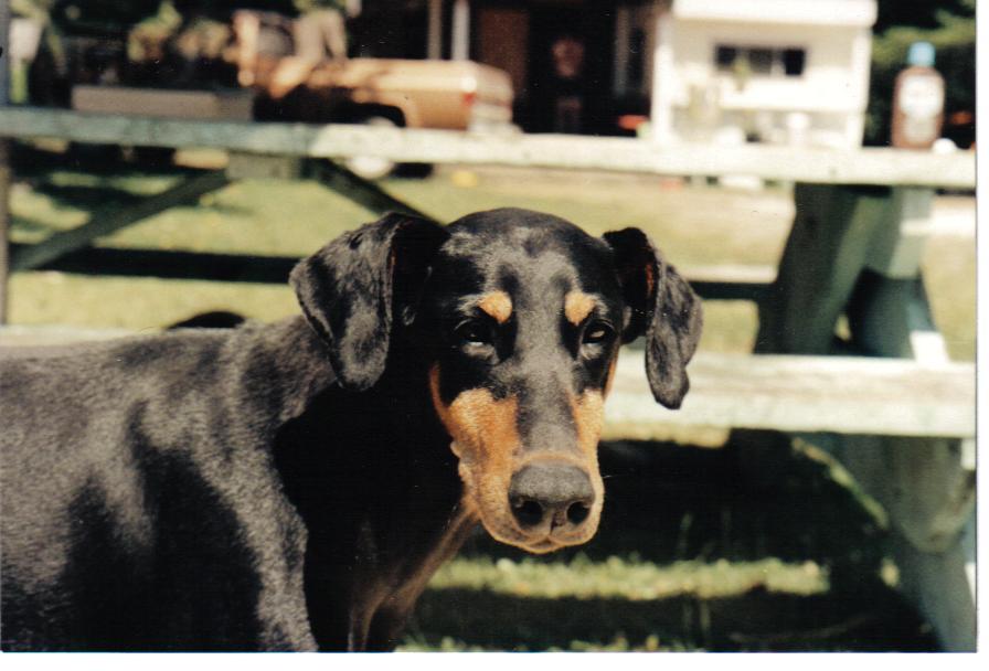 My First Doberman.........Sadie!
