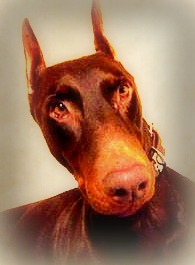 My Red Doberman