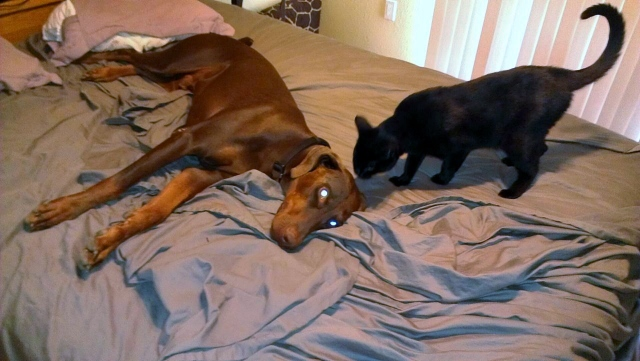 Taz And Our Cat Bumble Bee, We Need A Bigger Bed...
