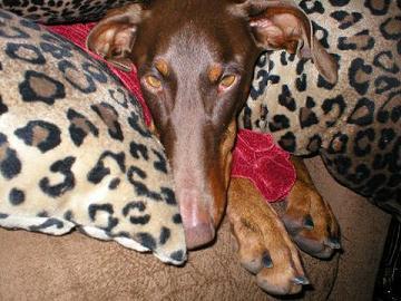 Tuckered Pup