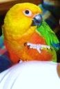 Zeke, The Jenday Conure
